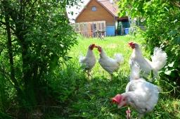 Die Gartenhühner